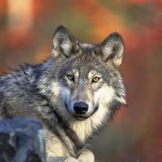 webwolf